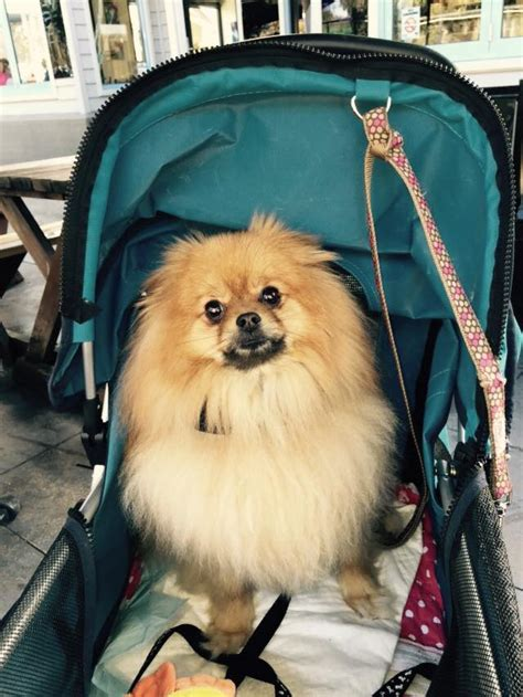pomeranian collars tips on selecting the collar harness for your pom pomeranian