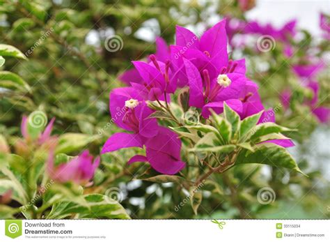 ornamental climbing plant ornamental climbing plants stock images image 33115034