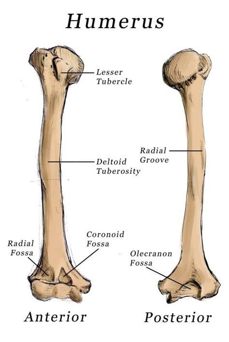 And Bone humerus bone anatomy bone disease