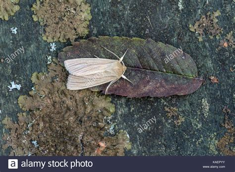 moth on leaf dead leaf moth stock photos dead leaf moth stock images