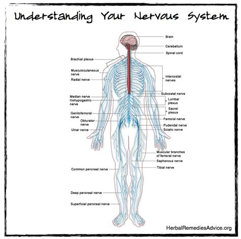 diagram of autonomic nervous system structure of the nervous system