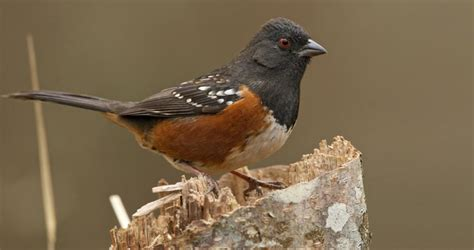 spotted towhee life history all about birds cornell lab