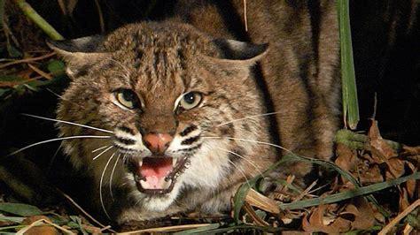 bobcat vs domestic cat images bobcat vs house cat
