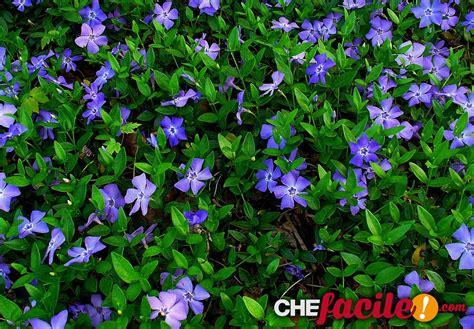 fiori tappezzanti piante tappezzanti piante fiori decorazioni