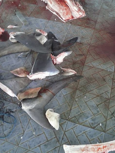lautku kehidupanku monitoring tangkapan hiu  tanjung