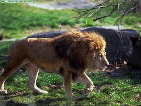 imagenes de leones rugientes los leones imagenes de diferentes leones
