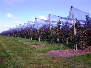 apple tree trellis growing apples on a trellis farms