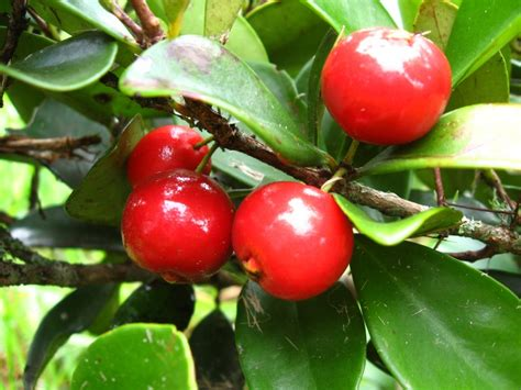 fruit trees bay area bays cherries and small trees on