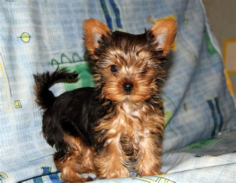 yorkie breed take care of the crucial aspects while yorkies time