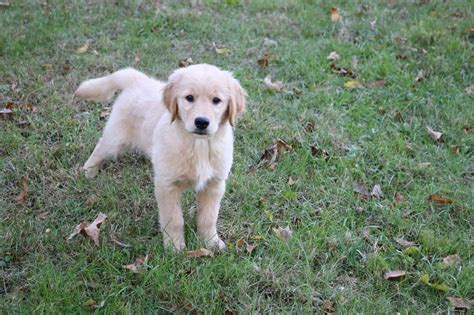 golden retriever puppies baton golden retriever breeders killingworth ct dogs our friends photo