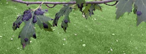 maple tree tar spots tar spot archives green