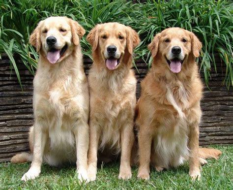cachorros golden retriever tudo sobre a ra 231 a golden retriever tudo sobre cachorros