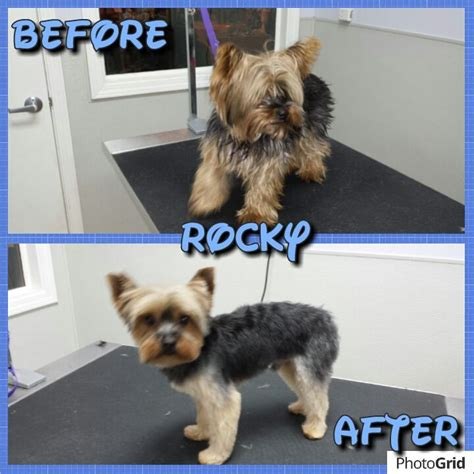 before and after pics of yorkie haircuts 19 best images about dog grooming before and afters on