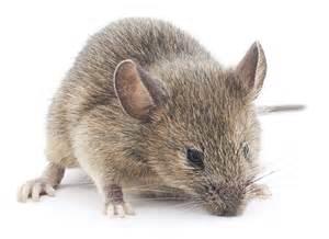 solex solutions extermination les souris