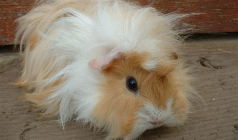 guinea pig pictures abyssinian guinea pig tips