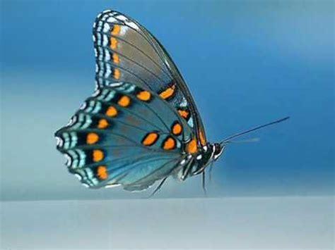 imagenes de mariposas que brillen mariposas youtube