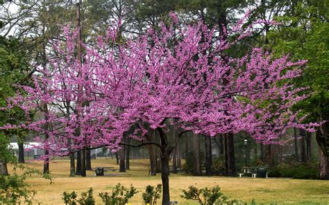 japanese redbud tree photos buy the rising sun redbud tree for sale from wilson bros gardens high quality plants