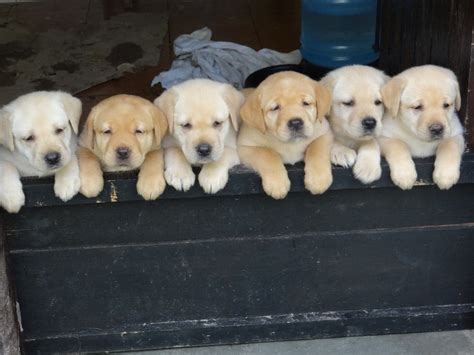 order puppies alert 16 of the cutest labrador puppy pictures 4 is just for