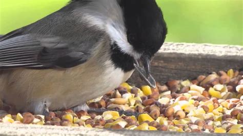 black capped chickadee eating seed youtube