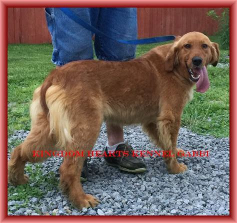 golden retriever hips golden retriever puppies breeder in ohio kingdom hearts kennel