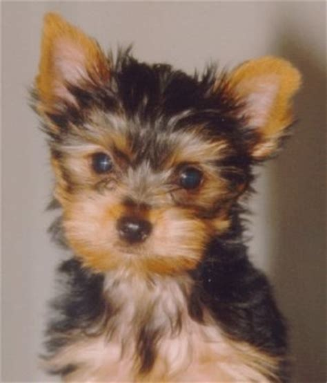 my yorkie died shooter will put your yorkie on the web free