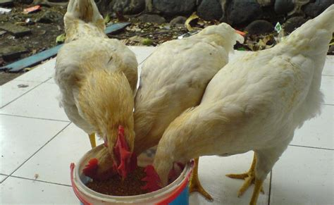 As Tahu Untuk Pakan Ternak Ayam edna cara pembuatan pakan ternak ayam buras