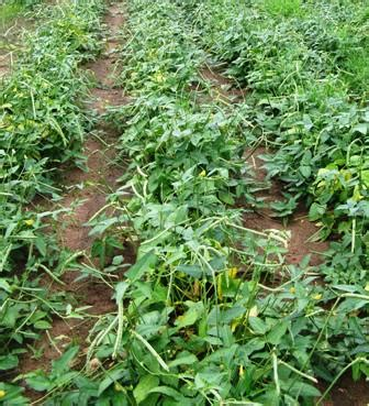 pick field peas  steps  pictures wikihow