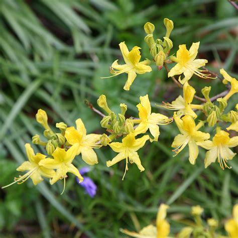 Set Kulot Azalea Yellow buy yellow azalea sweet pontica azalea deciduous azalea rhododendron luteum delivery by