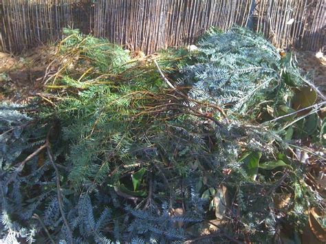 discarded christmas trees hppr