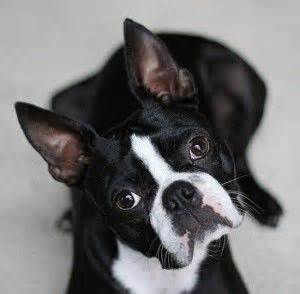 boston terrier puppies seattle the world s catalog of ideas