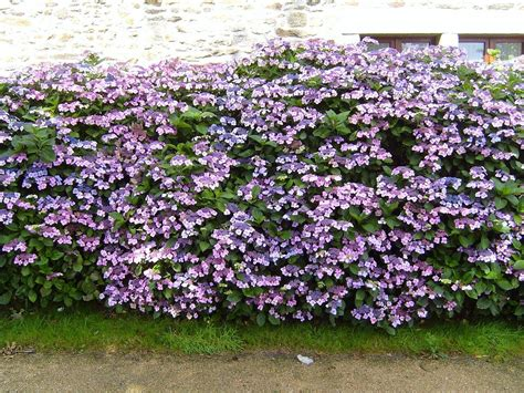 flowering privacy hedges google search gardening