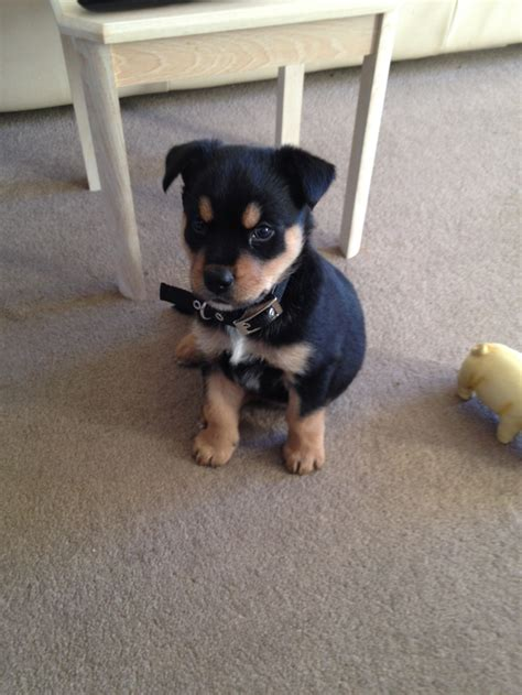 rottsky puppies cooper the rottsky puppy 5 weeks reminds me of neiko aminals