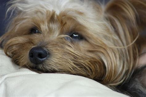 yorkie gestation signs that your terrier is