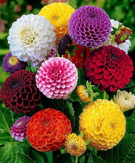 dalie in vaso dalie pompon fiori e giardinaggio bakker le dalie