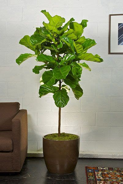best indoor trees 1000 ideas about indoor fig trees on pinterest indoor