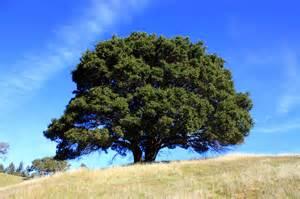 Live Oak Live Oak Trees