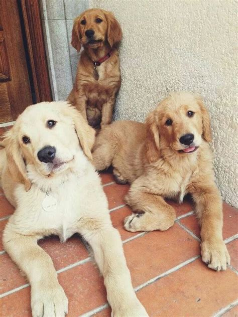 different shades of golden retrievers can t handle the cuteness adolescent golden retrievers aminals nature