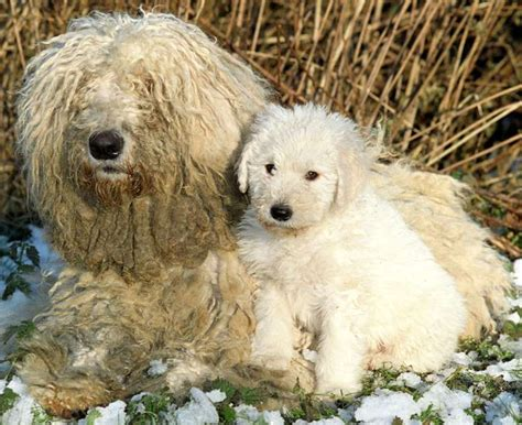 komondor puppy komondor breed information and images k9 research lab