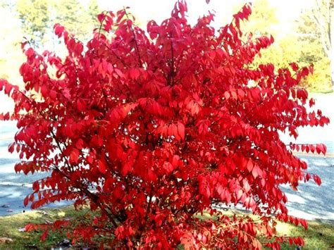 winged burning bush zone 3 full sun green foliage in summer brilliant red fall color h 5 10