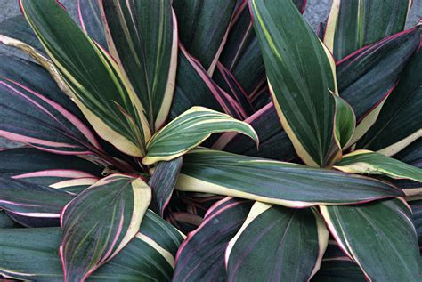 Farm Kitchen Ideas what is the best way to grow cordyline indoors