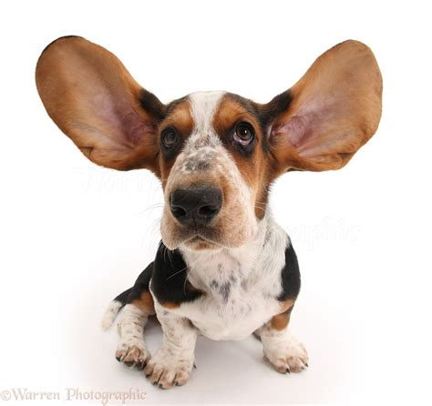 dogs with ears pictures of basset hound pup with ears up wp20506