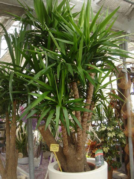 piante da interno sempreverdi scarpellini vivai sala di cesenatico