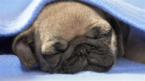 baby pugs sleeping baby pug sleeping emergency