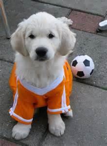 golden retriever football golden retriever soccer football player puppy