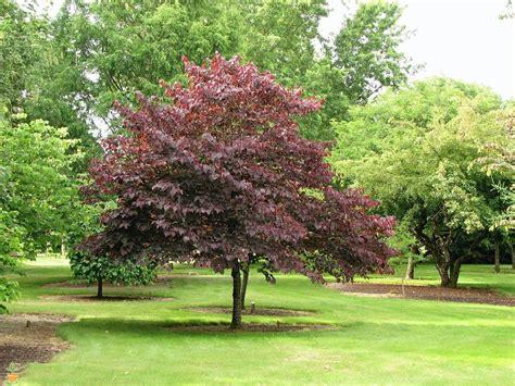newport flowering plum tree for sale the planting tree