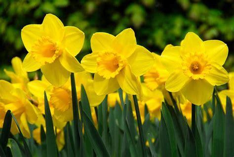 niagara falls daffodil capital  north america
