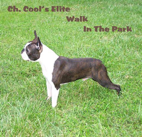 brindle boston terrier puppies eddie of brindle hill s elite boston terriers