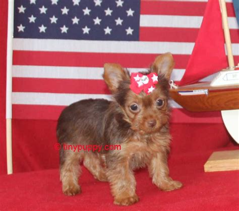 teacup yorkies in virginia pin teacup yorkies for sale in virginia on