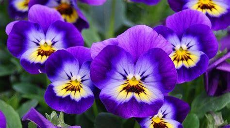 fiore viole viola il fiore e le sue propriet 224 idee green