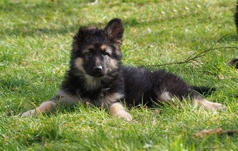 coat german shepherd puppies coat german shepherd puppies crymych pembrokeshire pets4homes